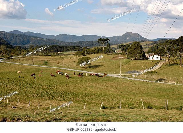 Mixed cattle raising, Devon, rural area, 2017, Urubici, Santa Catarina, Brazil