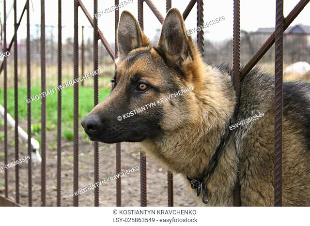 german shepherd peeking out from behind the fence