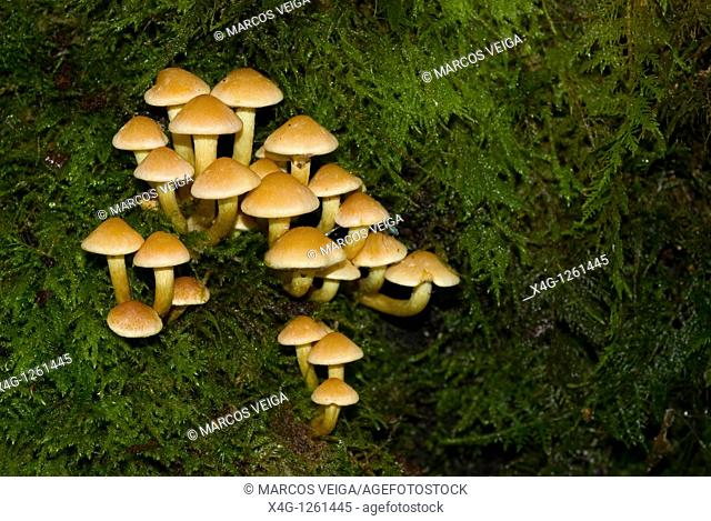 Group of Tufted yellow agaric fungi Hypholoma fasciculare on a mossy decaying branch