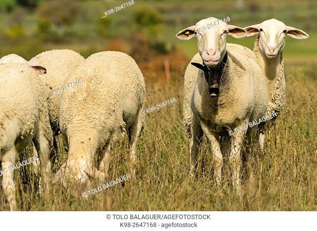 rebaño de ovejas, Santa María de la Nuez , municipio de Bárcabo,Sobrarbe, Provincia de Huesca, Comunidad Autónoma de Aragón, Pyrenees Mountains, Spain