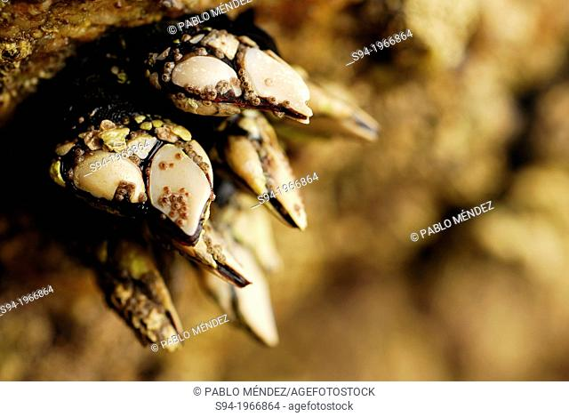 Goose barnacles (Pollicipes pollicipes) in Vigo ria, Pontevedra province, Spain