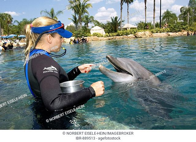 Trainer feeding a Dolphin (Tursiops truncatus), Discovery Cove, Orlando, Florida, USA, North America