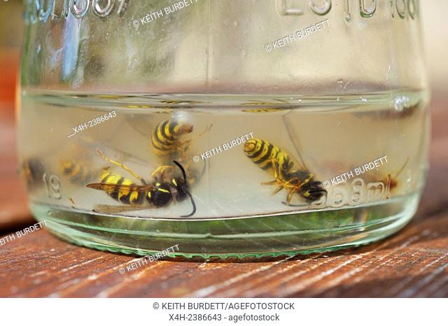 Common Wasps, Vesputa vulgaris, drowned in sugary liquid in a glass bottle, Wales, UK