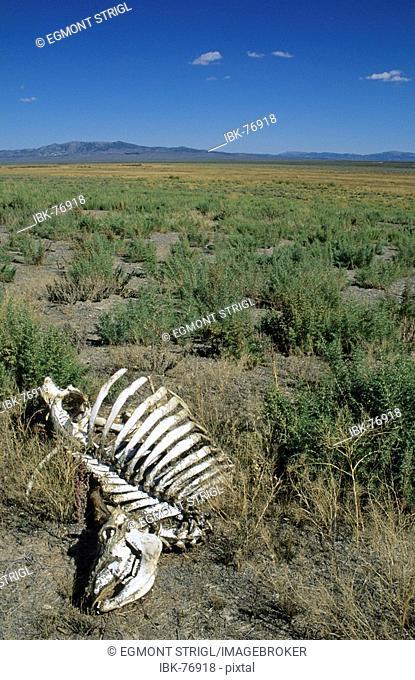 Sceleton of a dead cow at Rock Springs, historic California Trail, Nevada, USA