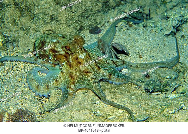Octopus (Octopus vulgaris), Mediterranean Sea, Corsica, France