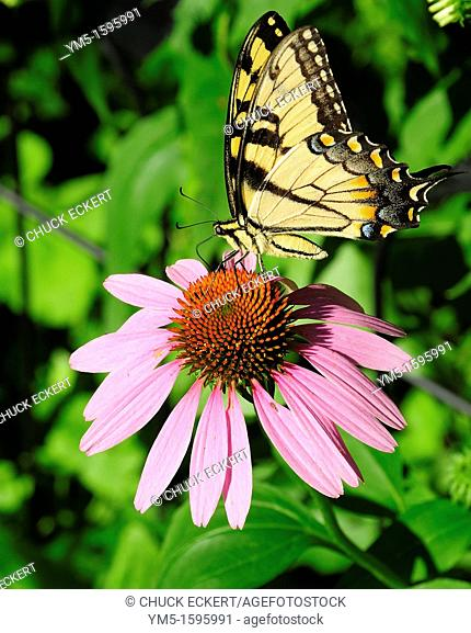 Male Eastern Tiger Swallowtail on Purple Cone flower in Fox River Grove, Illinois, USA
