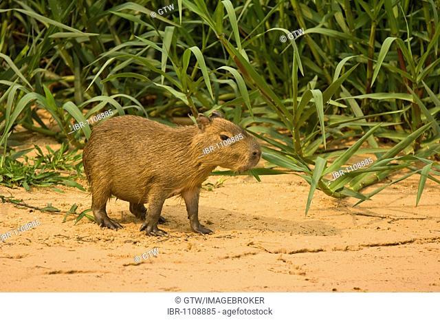 Capybara (Hydrochaeris hydrochaeris), Pantanal, Mato Grosso, Brazil