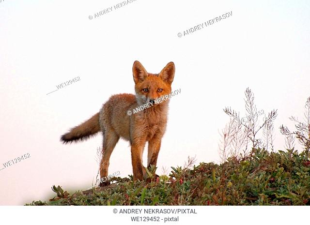 Red fox (Vulpes vulpes), young, Yermakov island, Ukraine, Eastern Europe