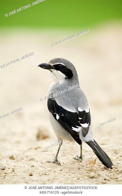 Southern Grey Shrike (Lanius meridionalis). Malaga, Andalucia, Spain