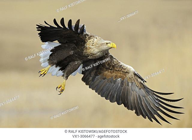 Powerful White-tailed Eagle ( Haliaeetus albicilla ) with wide open wings flying over reed grass in wetlands, wildlife, Europe.