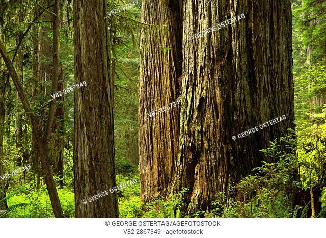 Coast redwood (Sequoia sempervirens) forest along South Fork Trail, Prairie Creek Redwoods State Park, Redwood National Park, California