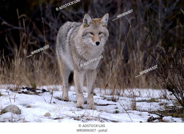 A close up full body shot of a western coyote with eye contact and being alert