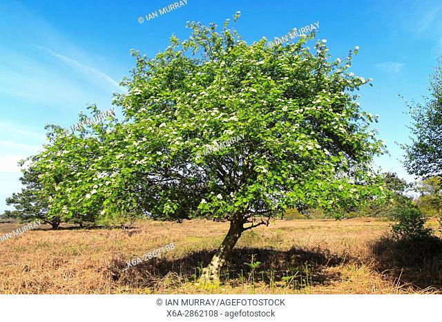 Rowan tree on heathland, Hollesley Common heath, Suffolk Sandlings, England, UK