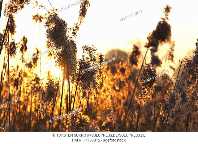 27.02.2019, reeds (Phragwithes) with Ahrchen on a winter evening with a beautiful sunset on the Schlei in Schleswig. Monocotyledons, Commelinids