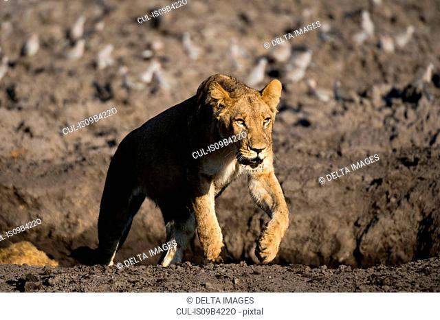 Lioness (Panthera leo), Savuti marsh, Chobe National Park, Botswana