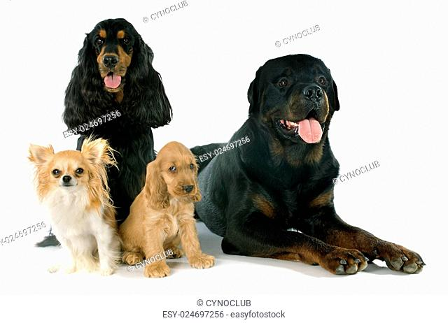 portrait of english cockers, chihuahua and rottweiler in a studio