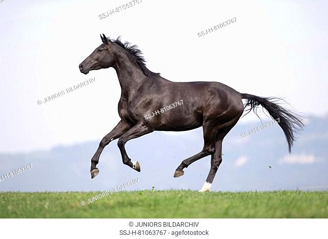 Oldenburg Horse. Black mare galloping on a pasture. Sequence. Switzerland