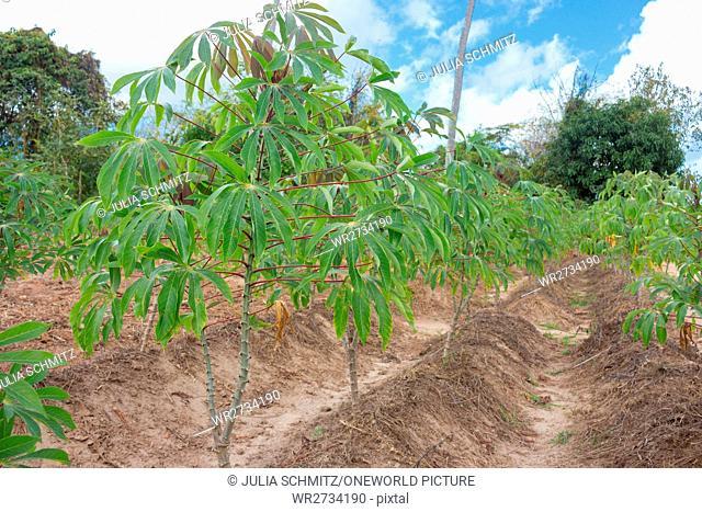 Tanzania, Zanzibar, Pemba Island, Plantage - Jod tree, Iodine Tree, Purging (Jatropha multifida), Habitus