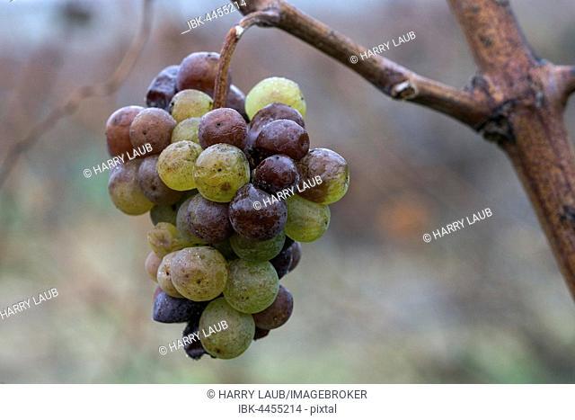Frozen white grapes on vine for ice wine, Dossenheim, Baden-Württemberg, Germany