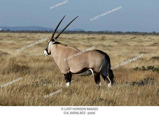 Oryx grazing on plains, Etosha National Park, Namibia