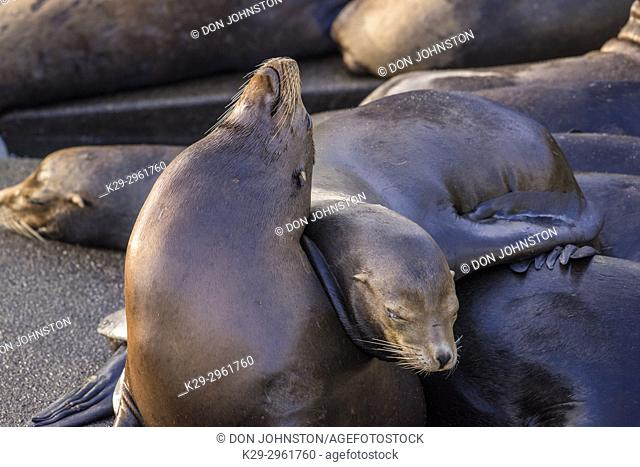 California sea lion (Zalophus californianus) Males lounging on a wharf, Newport, Oregon, USA