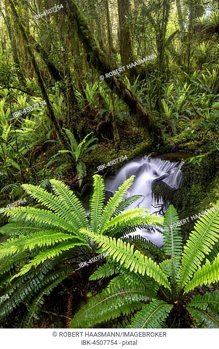 Stream with ferns in the dense rainforest, Fiordland National Park, Southland, New Zealand