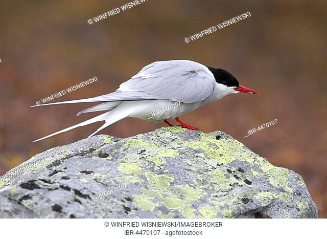 Arctic Tern (Sterna paradisaea), Varanger, Norway