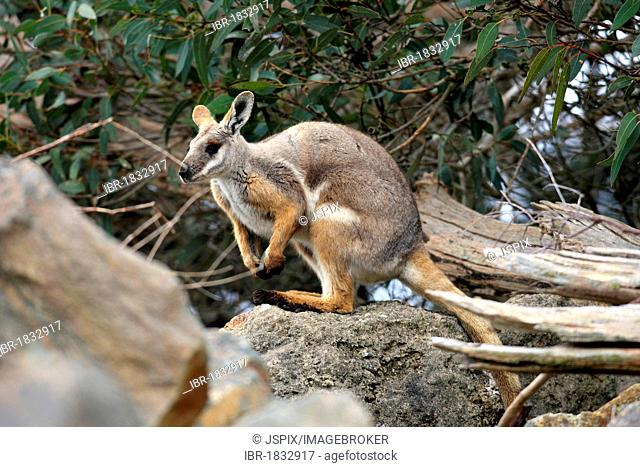Yellow-footed Rock-wallaby (Petrogale xanthopus), South Australia, Australia