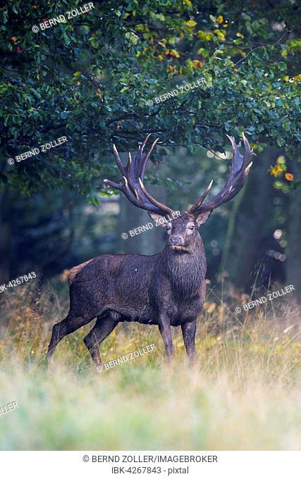 Red deer (Cervus elaphus), Royal Stag standing near forest in fog, Zealand, Denmark