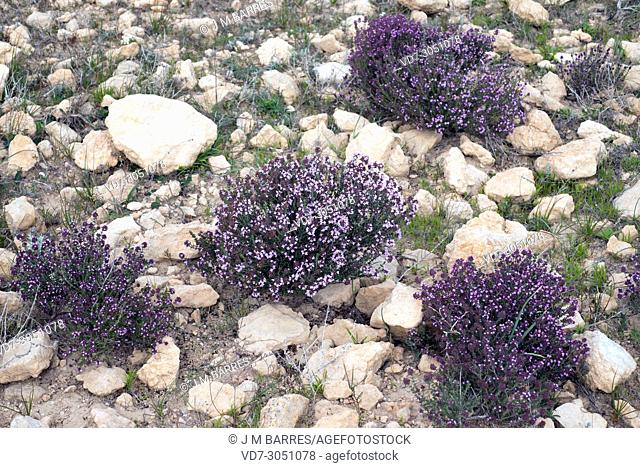 Tomillo de invierno (Thymus hyemalis) is a subshrub endemic to south eastern Spain, from Alicante to Granada. This photo was taken in Almeria province