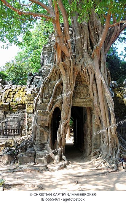 Massive roots growing over the ruins of Ta Som temple, Angkor Wat, Siem Reap, Cambodia, Asia