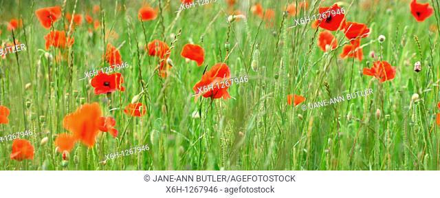 Red Poppy Field Panorama Delightful Summer Scene