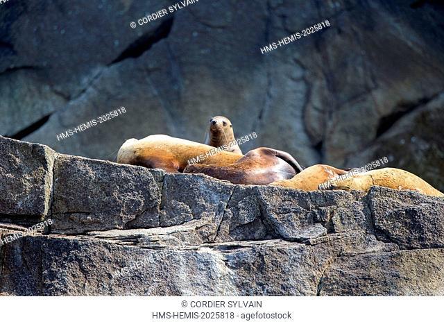 United States, Alaska, Kenai Peninsula, Kenai Fjords National Park, Steller sea lion (Eumetopias jubatus), colony on the rocks