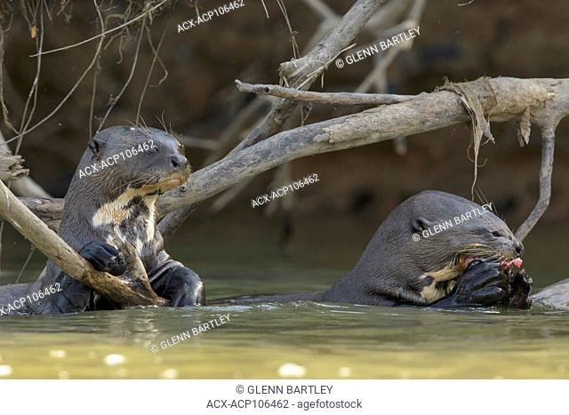 Giant River Otter feeding in a wetland area in the Pantanal region of Brazil
