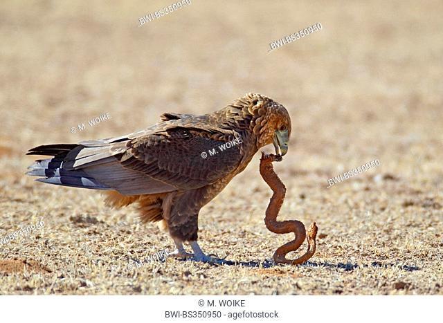 Bateleur, Bateleur eagle (Terathopius ecaudatus), immature bateleur eating a dead snake, South Africa, Kgalagadi Transfrontier National Park