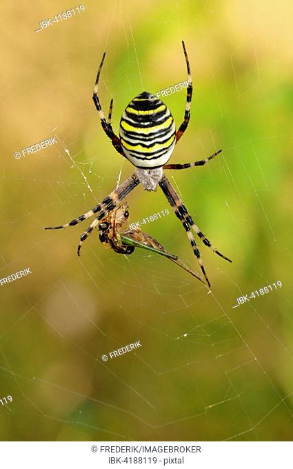 Wasp Spider (Argiope bruennichi), female sitting in spiderweb with prey, North Rhine-Westphalia, Germany