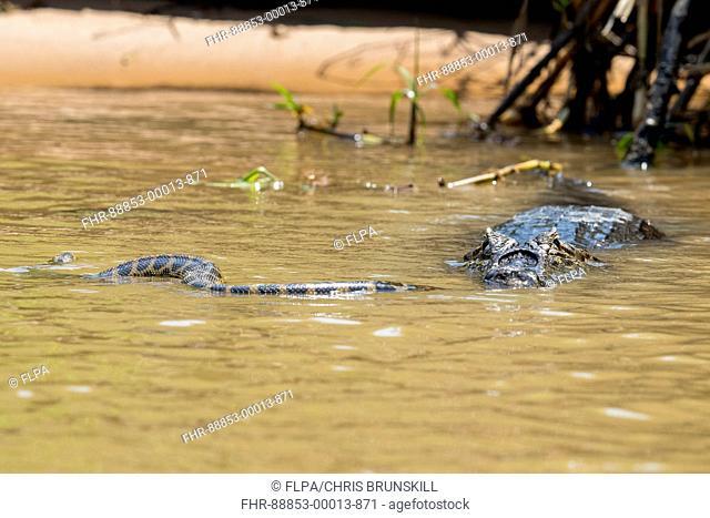 Paraguayan Caiman (Caiman yacare) adult, killing Yellow Anaconda (Eunectes notaeus) prey, Three Brothers River, Mato Grosso, Brazil, September