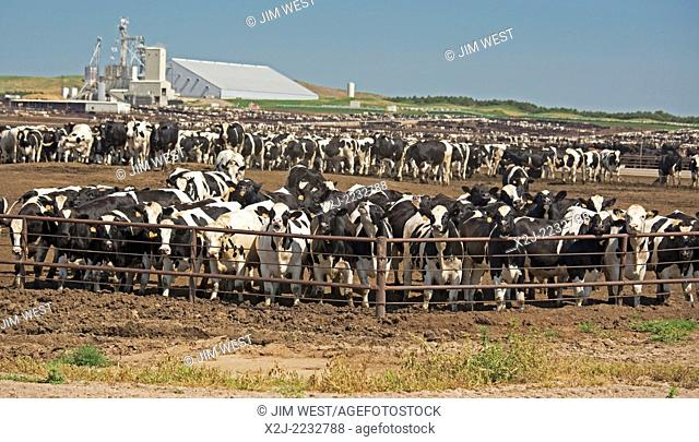 North Platte, Nebraska - The North Platte Livestock Feeders feedlot, operated by the Gottsch Cattle Company. The operation has room to feed 80,000 cattle