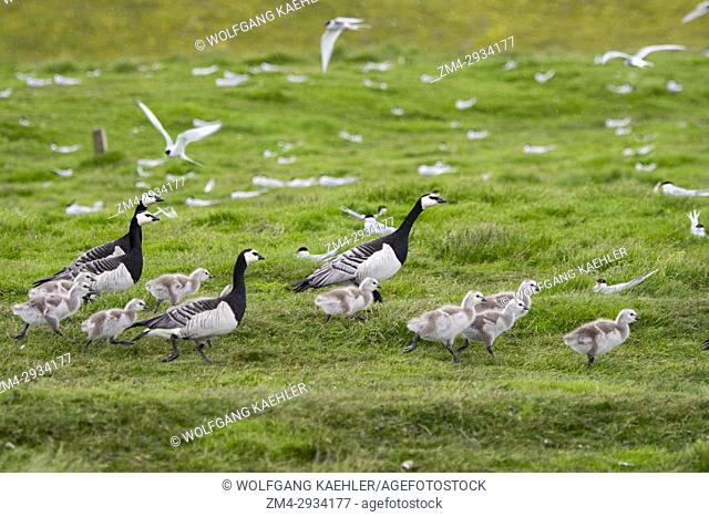 Barnacle geese (Branta leucopsis) with goslings at the Arctic Tern (Sterna paradisaea) colony in Jökulsárlón in southeast Iceland