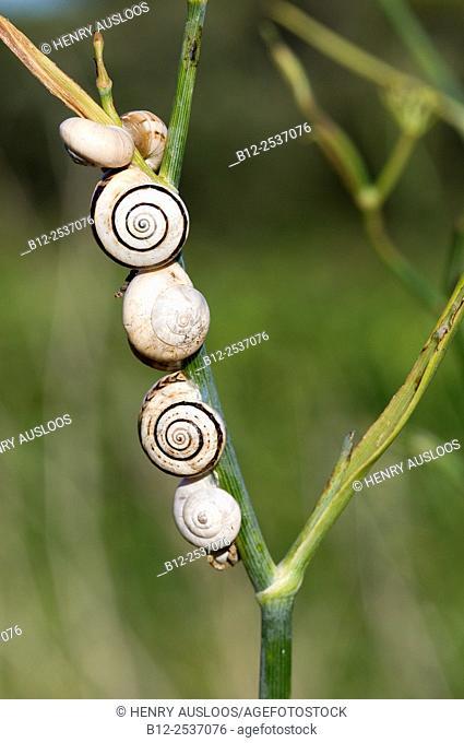 White Italian Snail - White garden Snail - Theba pisana - Camargue - France