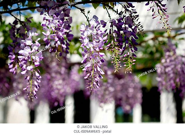 Close up of purple wisteria blossoms in garden