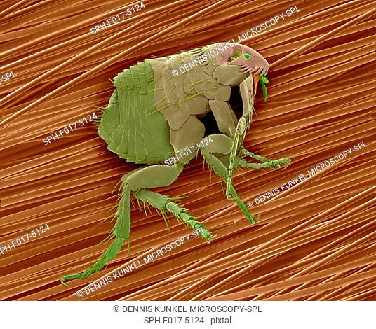 Coloured scanning electron micrograph (SEM) of a common dog flea (Ctenocephalides canis) on dog hair. This flea lives as an ectoparasite on a wide variety of...