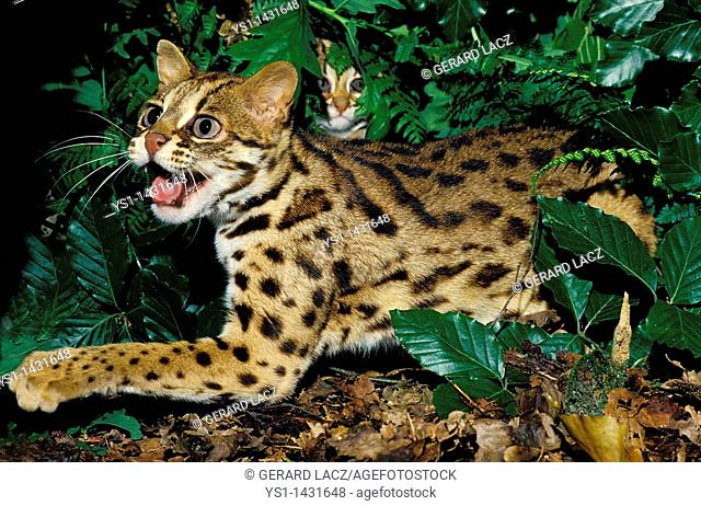 LEOPARD CAT prionailurus bengalensis, FEMALE SNARLING TO PROTECT YOUNG