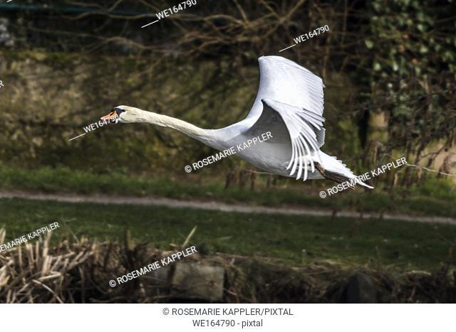 A mute swan on the riverside of the saar. Germany, Saarland, Saarbruecken