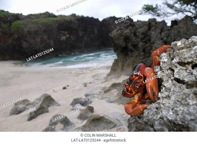 Red crab,Gecarcoidea natalis,breed successfully on Christmas Island