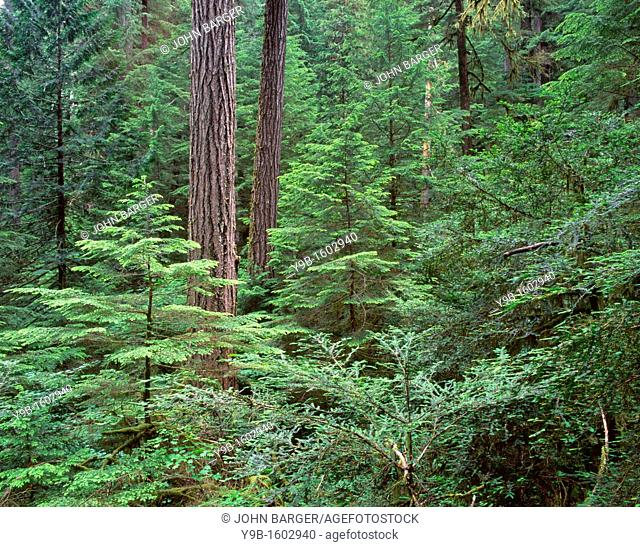 Old-growth Douglas fir with western hemlock and Pacific yew saplings in the understory, Middle Santiam Wilderness, Willamette National Forest, Oregon, USA