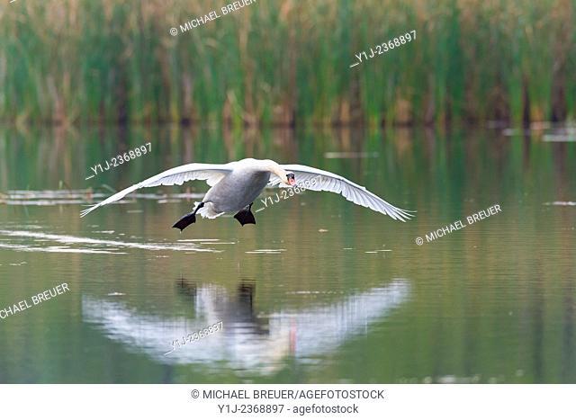 Flying Mute Swan (Cygnus olor) on lake, Hesse, Germany, Europe