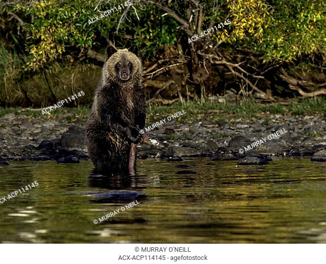 Grizzly Bear (Ursus arctos horribilis), COY (Cub-Of-the-Year) first year cub in water of alpine lake with Sockeye Salmon (oncorhynchus nerka) carcass, sunset