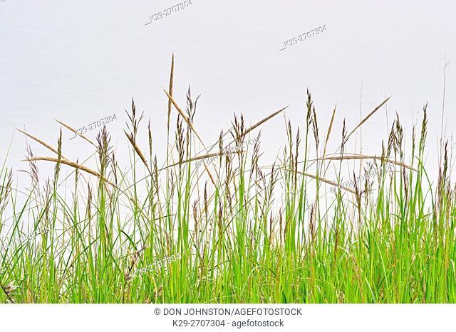 Sand dune grasses, near Marquette, Michigan, USA