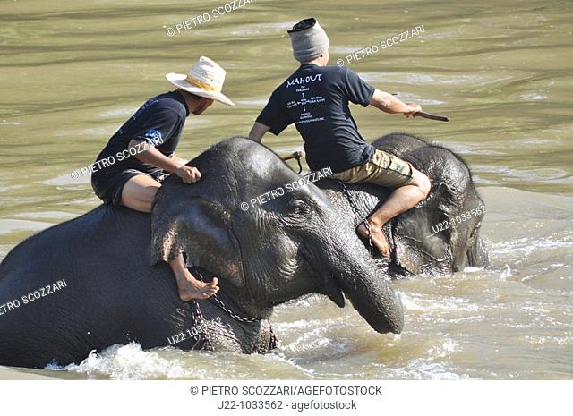 Chiang Saen (Thailand): elephants taking a bath in a river at the Anantara Resort & Spa Golden Triangle
